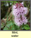 mint,water (mism�n mionsach)