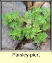 parsley-piert (mion�n muire)