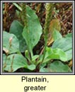 plantain,greater (cuach ph�draig)