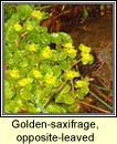 golden-saxifrage, opposite-leaved (gl�ris)