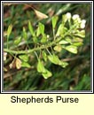 shepherds purse (lus an spar�in)