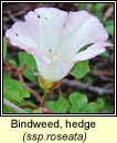 bindweed,hedge (ialus f�il)