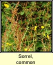 sorrel,common (samhdh b�)
