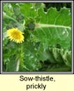 sow-thistle,prickly (bleacht�n colgach)