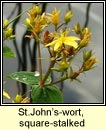 st.johns-wort,square-stalked (beathnua fireann)