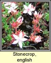 stonecrop,english (p�ir�n� seang�n)