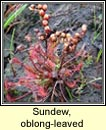 sundew, oblong-leaved (cail�s mhuire)