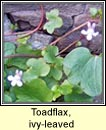toadflax,ivy-leaved (lus l�n an fhalla)