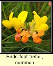 birds-foot-trefoil,common (crobh �in)