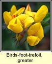 birds-foot-trefoil,greater (barr an mhisl�in)