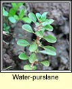 water-purslane (puirp�n uisce)