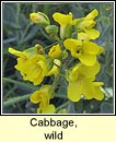 cabbage,wild (cab�iste fi�in)