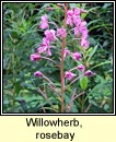 willowherb,rosebay (lus na tine)