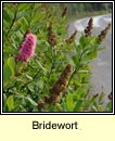 bridewort (brídeach)