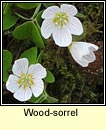 wood sorrel (seams�g)