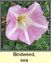 bindweed,sea (pl�r an phrionsa)