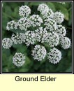 ground elder (lus an easpaig)