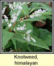 knotweed,himalayan (gl�ineach spiceach)