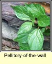 pellitory-of-the-wall (feabhra�d)