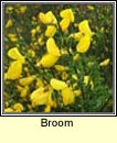 broom (giolcach sl�ibhe)