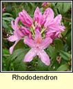 rhododendron (r�slabhras)