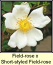 rose,field (r�s l�ana)