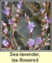 sea-lavender,lax-flowered (lus liath na mara)