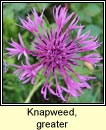 knapweed,greater (m�nscoth mhor)