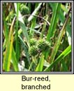 bur-reed,branched (r�sheisc)