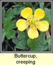 buttercup,creeping (fearb�n reatha)