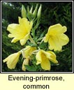 evening-primrose,common (coinneal oiche)
