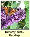 butterfly-bush (tor an fh�ileac�in)