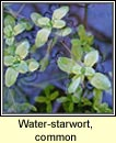 water-starwort,common (r�ilt�n scoite)