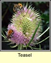 teasel (lead�n �caire)