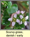 scurvygrass,danish (carr�n creige)