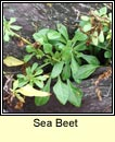 sea beet (la�on na tr�)