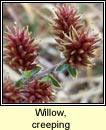 willow,creeping (saileach reatha)