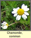 chamomile,common