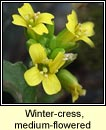 wintercress,medium-flowered (treabhach me�nach)
