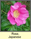 rose,japanese (r�s r�scach)