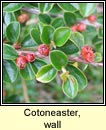 cotoneaster,wall (cainch�n balla)