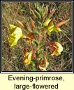 evening-primrose,large-flowered (coinneal o�che mh�r)