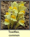 toadflax,common (buafl�on)
