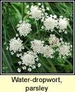water-dropwort,parsley (dathabha peirsile)