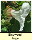 bindweed,large (ialus m�r)