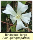 bindweed,large (ialus mór)