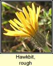 hawkbit,rough (cr�g phort�in bheag)