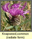 knapweed,common, radiate form