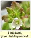 speedwell,green field (lus cr� l�ana)