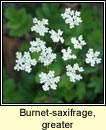 burnet-saxifrage,greater(coll an drom�in)